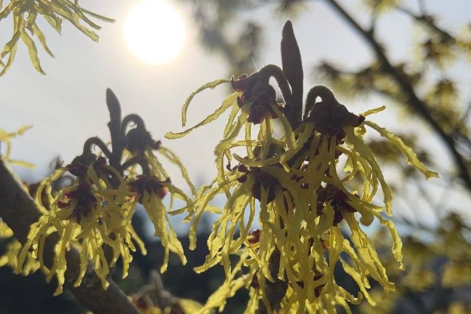 Zaubernuss Strauch mit Blüten